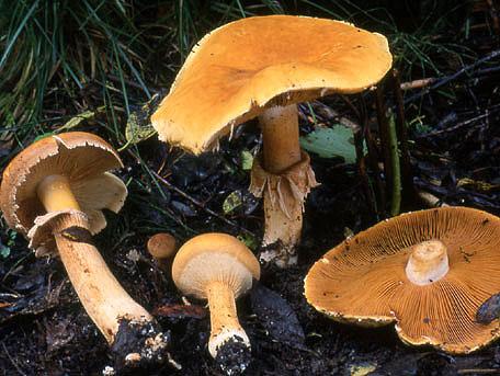 Gyllenskivling – Phaeolepiota aurea