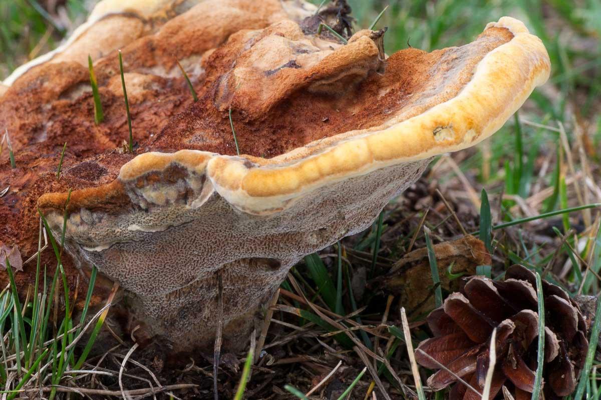 Grovticka – Phaeolus schweinitzii