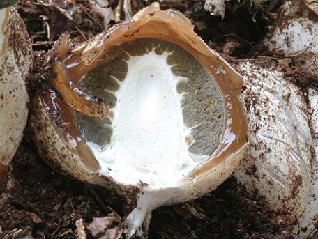 Stinksvamp – Phallus impudicus
