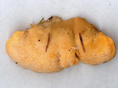 Stinkmussling – Phyllotopsis nidulans