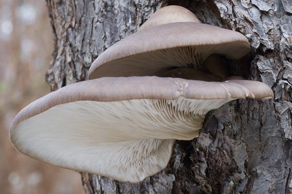 Ostronmussling – Pleurotus ostreatus
