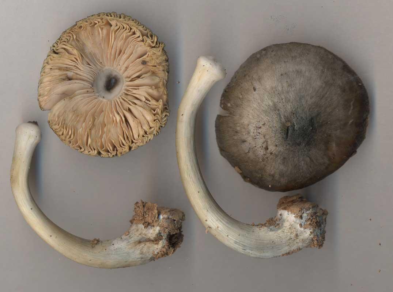 Blågrå skölding – Pluteus salicinus