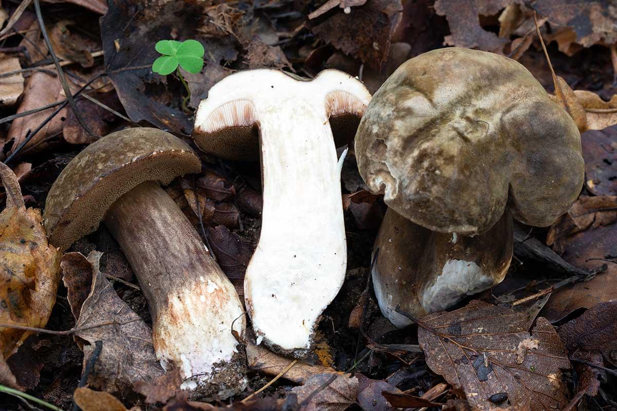 Dystersopp – Porphyrellus porphyrosporus