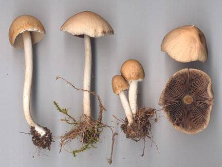 Vitspröding – Psathyrella candolleana