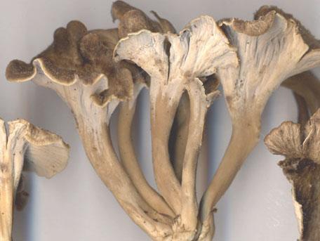 Kruskantarell – Craterellus sinuosus