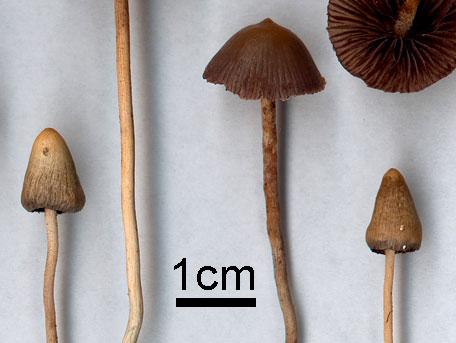 Toppslätskivling – Psilocybe semilanceata