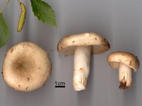 Grönkremla – Russula aeruginea