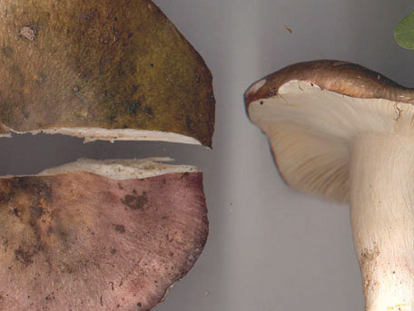 Brokkremla – Russula cyanoxantha