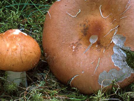 Tegelkremla – Russula decolorans
