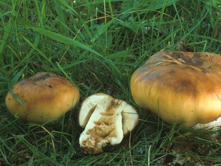 Stinkkremla – Russula foetens