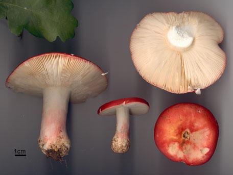 Fagerkremla – Russula lepida