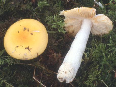 Äggkremla – Russula vitellina