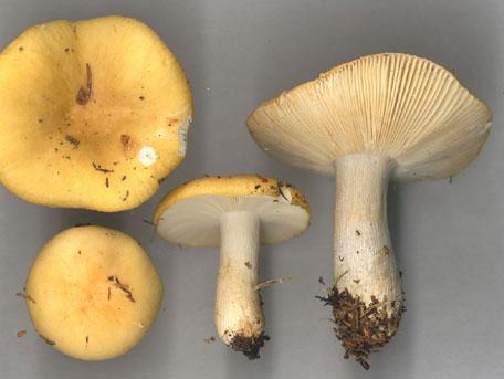 Senapskremla – Russula ochroleuca