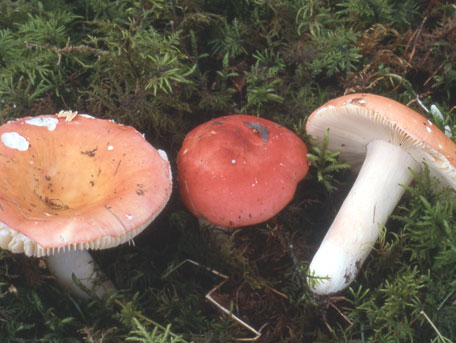 Rosenfotskremla – Russula roseipes
