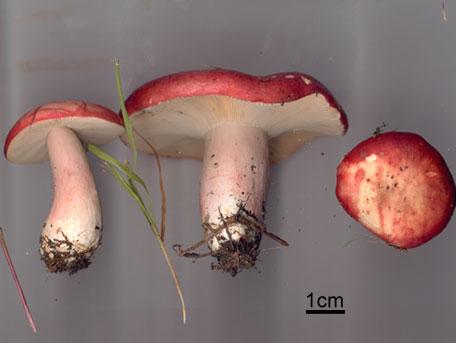 Blodkremla – Russula sanguinea