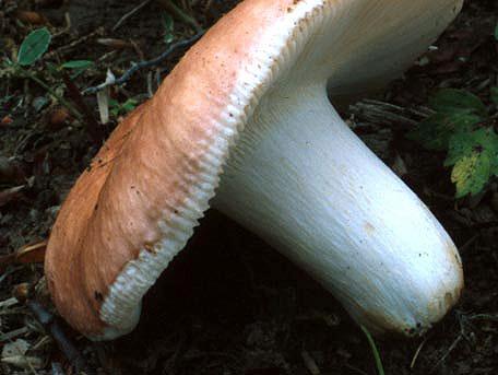 Kantkremla – Russula vesca