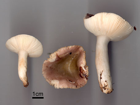 Violkremla – Russula violacea