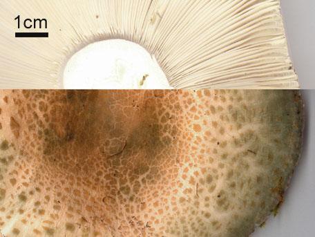 Rutkremla – Russula virescens