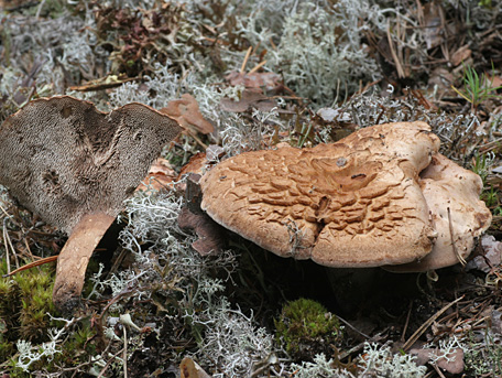 Spricktaggsvamp – Sarcodon glaucopus s. str.