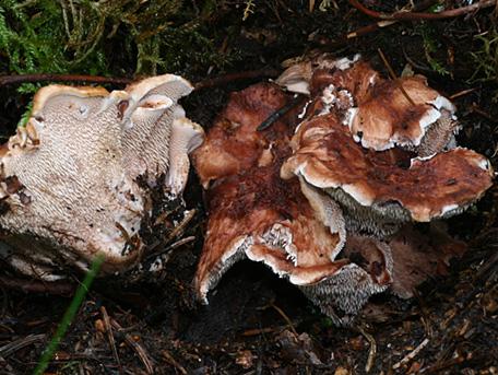 Koppartaggsvamp – Sarcodon lundellii