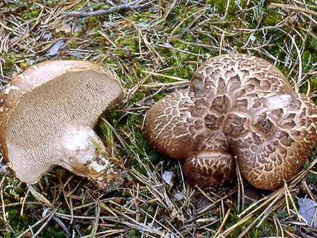 Motaggsvamp – Sarcodon squamosus