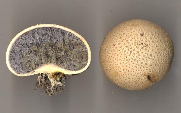 Gul rottryffel – Scleroderma citrinum