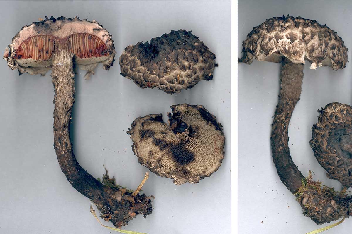 Fjällsopp – Strobilomyces strobilaceus