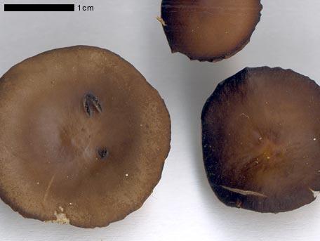 Grankotteskivling – Strobilurus esculentus
