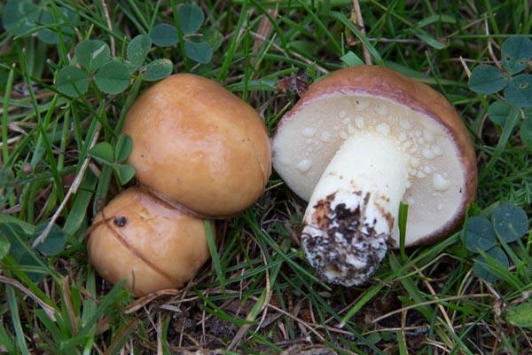 Grynsopp – Suillus granulatus