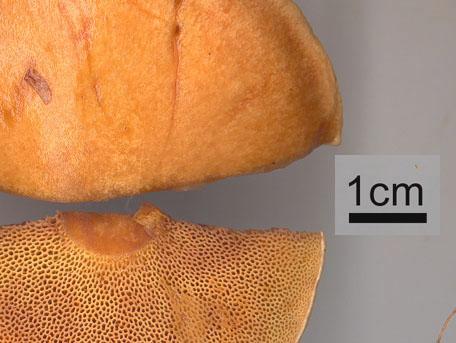 Lärksopp – Suillus grevillei