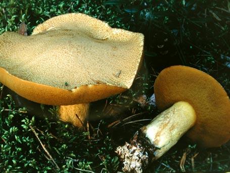 Sandsopp – Suillus variegatus