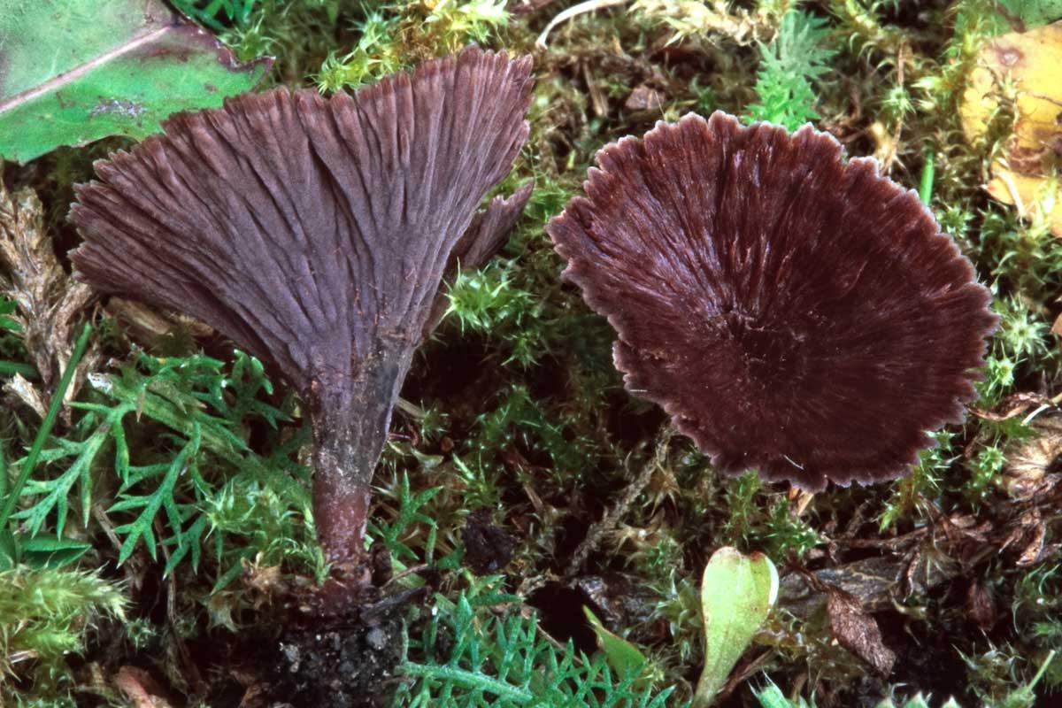 Trattöra – Thelephora caryophyllea