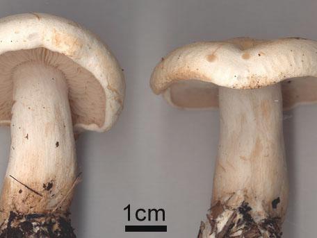 Rättikmusseron – Tricholoma stiparophyllum