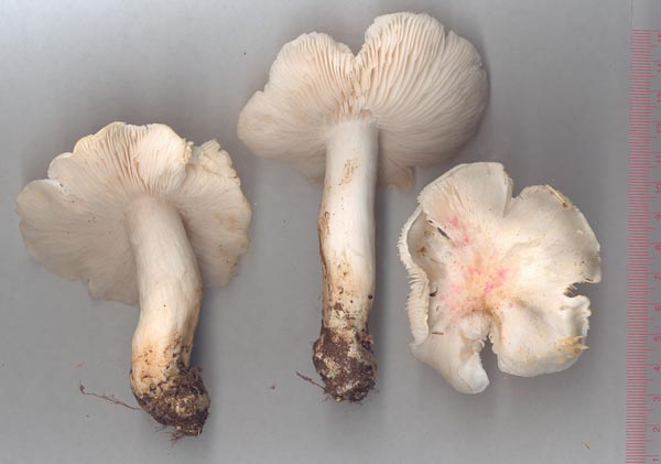 Silkesmusseron – Tricholoma columbetta