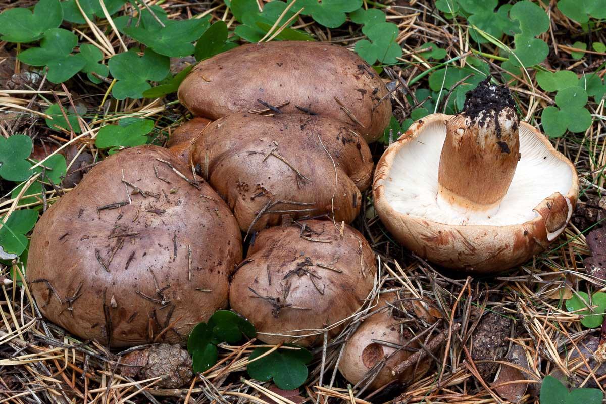 Besk kastanjemusseron – Tricholoma batschii