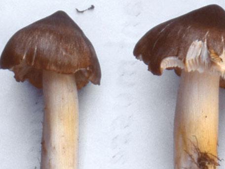 Blek streckmusseron – Tricholoma guldeniae