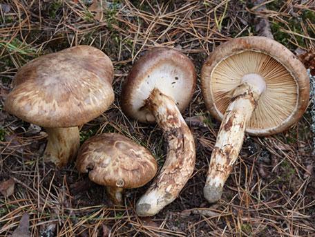 Goliatmusseron – Tricholoma matsutake