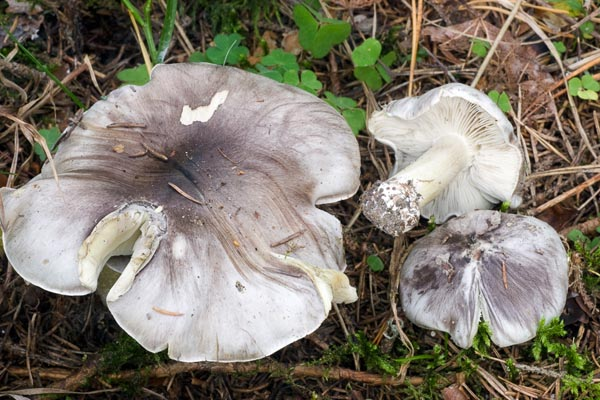 Streckmusseron – Tricholoma portentosum