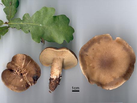 – Tricholoma saponaceum var. squamosum