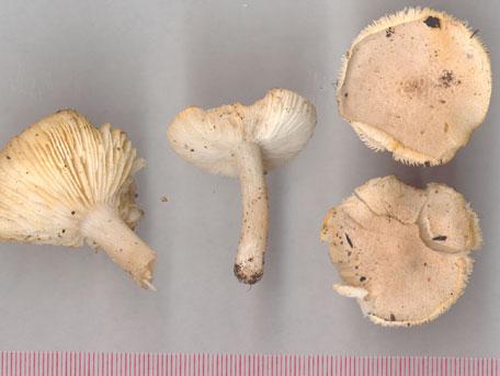 Gulnande musseron – Tricholoma scalpturatum