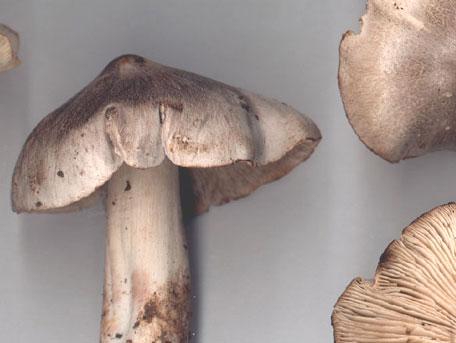 Gallmusseron – Tricholoma virgatum