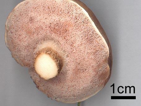 Gallsopp – Tylopilus felleus
