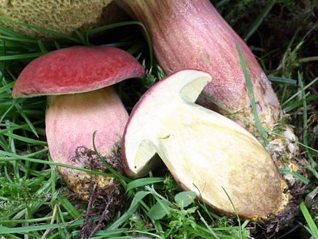 Rödsopp – Hortiboletus rubellus