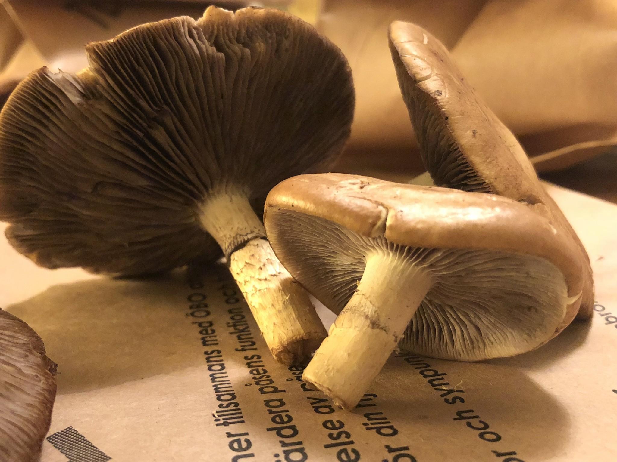 svamp under ring